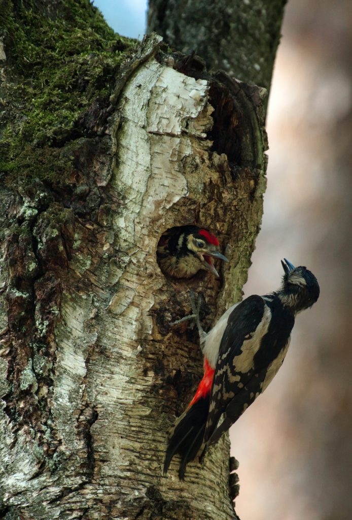 The chick of the Greater Spotted Woodpecker (Dendrocopos major) is leaning out of the hollow