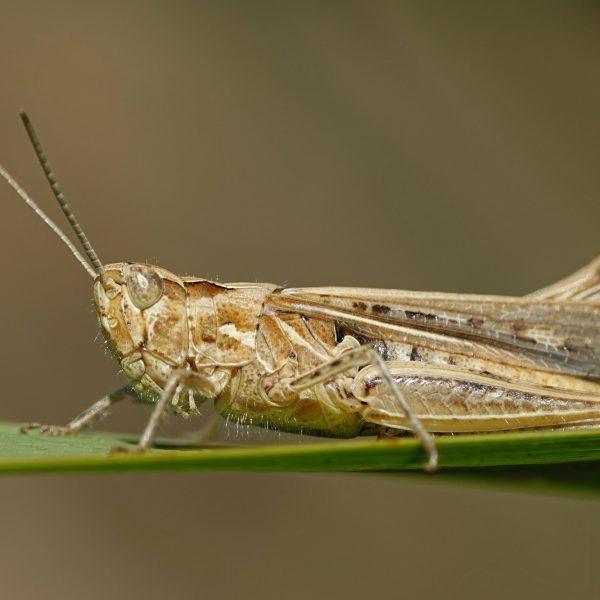Grasshopper (Orthoptera) macro photo
