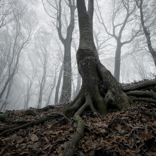 Tree with giant roots in spooky forest